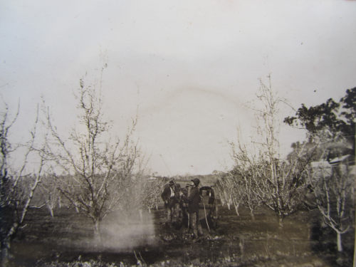 Spraying apple trees, Sunnyhurst 1921